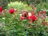 Я нюхаю розы