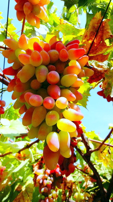 виноград дамские пальчики