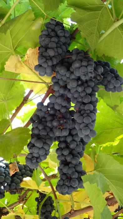Музыка виноградной лозы