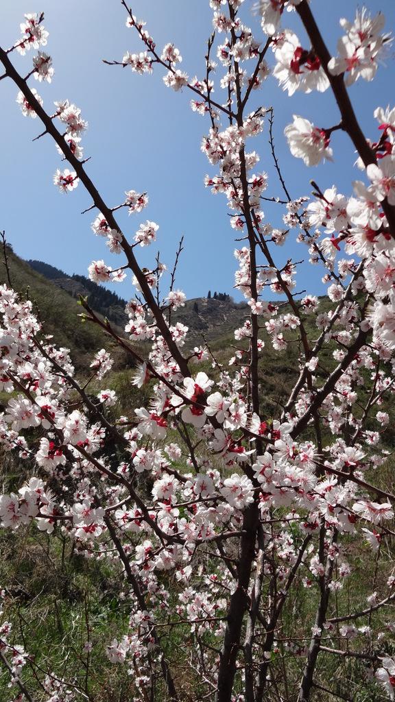 цветущий абрикос