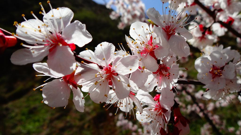 Цветет дикий абрикос