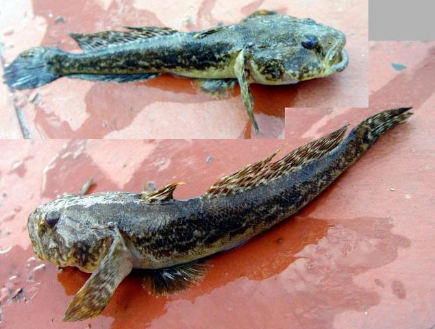 Рыбинское водохранилище бычок-головач